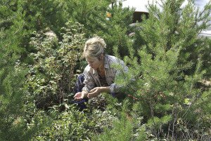Sherry Brochu of Thunder Bay picks in a good patch of berries. | GORD ELLIS