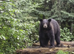 Bears can be a nuisance if precautions aren't taken. | STOCK