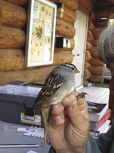 This white-crowned sparrow is one of many birds being banded. | SUBMITTED