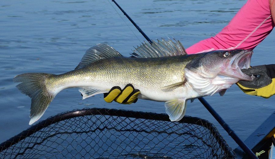 "The walleye is is sometimes called the ""walleyed pike,"" it is a member of the perch family of fishes and is common throughout the Northern Wilds."