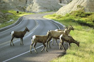 Bighorn sheep added to the excitement of the Badlands.