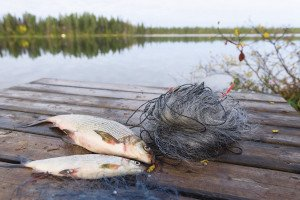 Gill-netting whitefish is a popular autumn activity in northern Minnesota.  STOCK