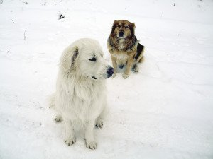 The author lost the great Pyrenees mix in theforeground when it was killed by wolves near her home. | KATHY TOIVONEN