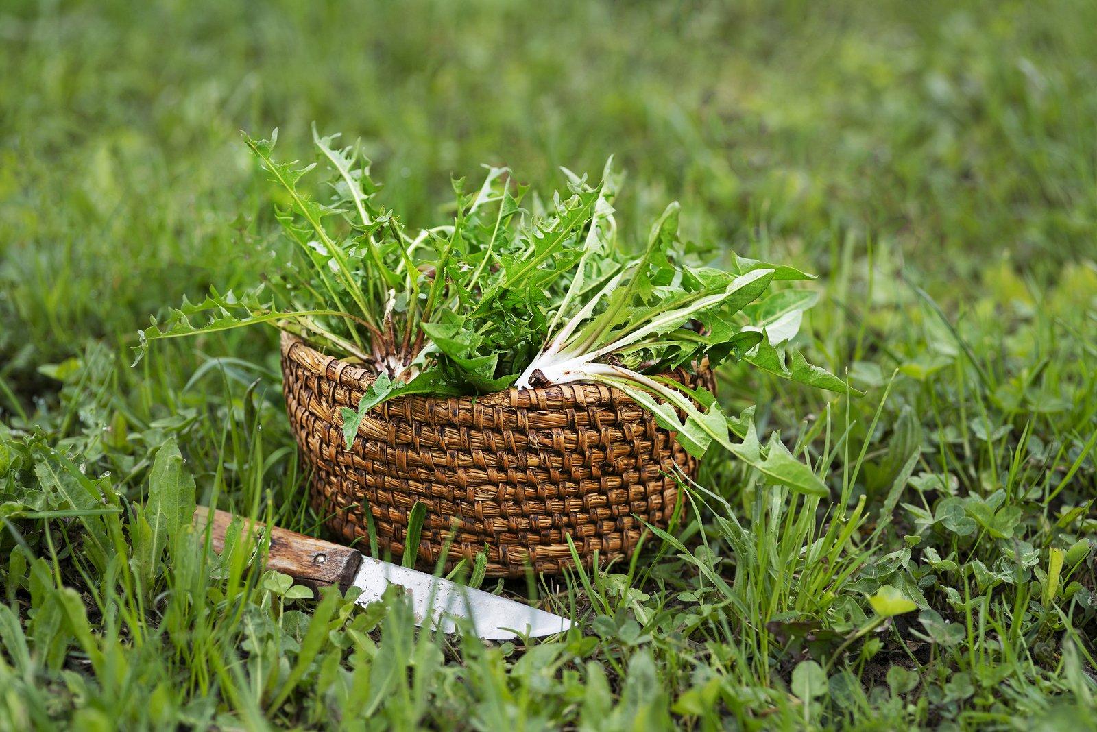 Dandelion in basket. Picked fresh dandelion leaves in garden.
