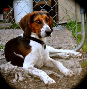 Chester, a coonhound, was adopted by a family in Silver Bay, thanks to Ace's Waggin. | ELIZABETH GRAY