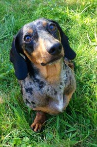 Ace, Gray's dachshund, is the mascot for Ace's Waggin rescue group in Two Harbors. | ELIZABETH GRAY