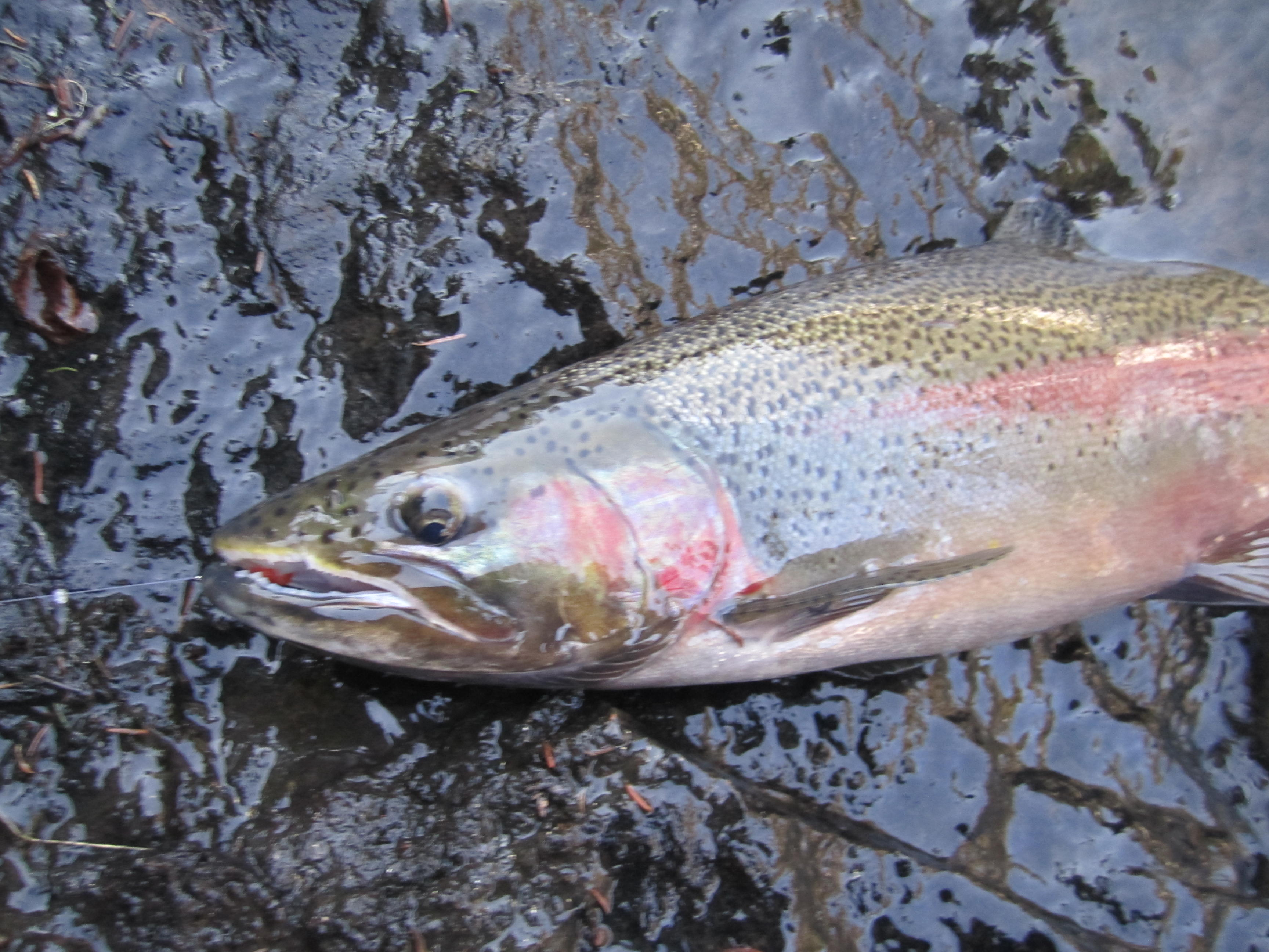 Points North Steelhead Are Running On The North Shore Northern