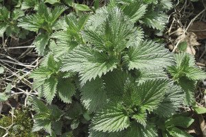 A small patch of springtime stinging nettle found in a back lane. | JULIA PRINSELAAR
