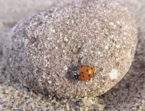 A convergent ladybug that washed up on the shore of Lake Superior.   SUBMITTED