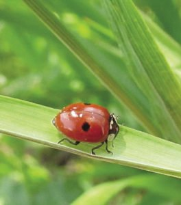 A two-spotted ladybug near Gilbert, Minnesota.   SUBMITTED