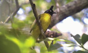 The black-crested bulbul is only found in the Indian subcontinent and Southeast Asia. | SAM VEASNA CENTER