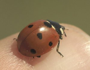 The seven-spotted ladybug. | SUBMITTED