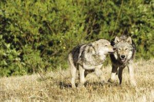 bigstock-Wolves-displa_opt