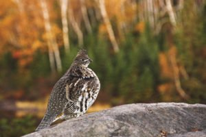 A ruffed grouse strikes a pose near the Kawishiwi River. | RADIANT SPIRIT GALLERY