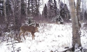The winter of 2012-2013 was especially hard on the northwest deer herd. | GORD ELLIS