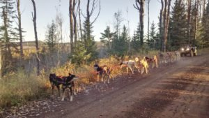 The mushers and team enjoy an early morning run on Pine Mountain Road as the fall colors are changing. | MATTHEW SCHMIDT