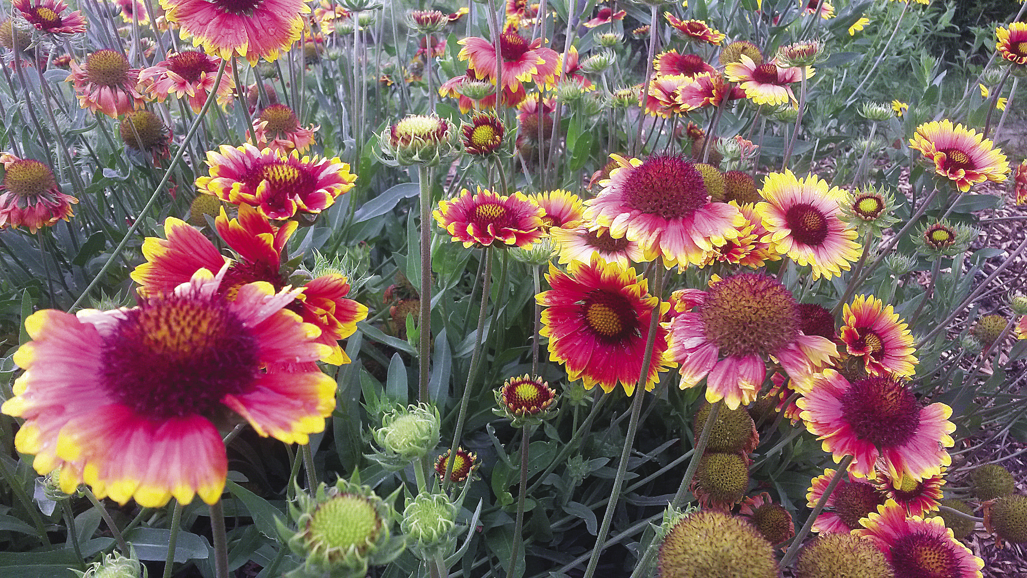 Native plants, like the blanket flower, attract bees, butterflies, hummingbirds, and other vital species.