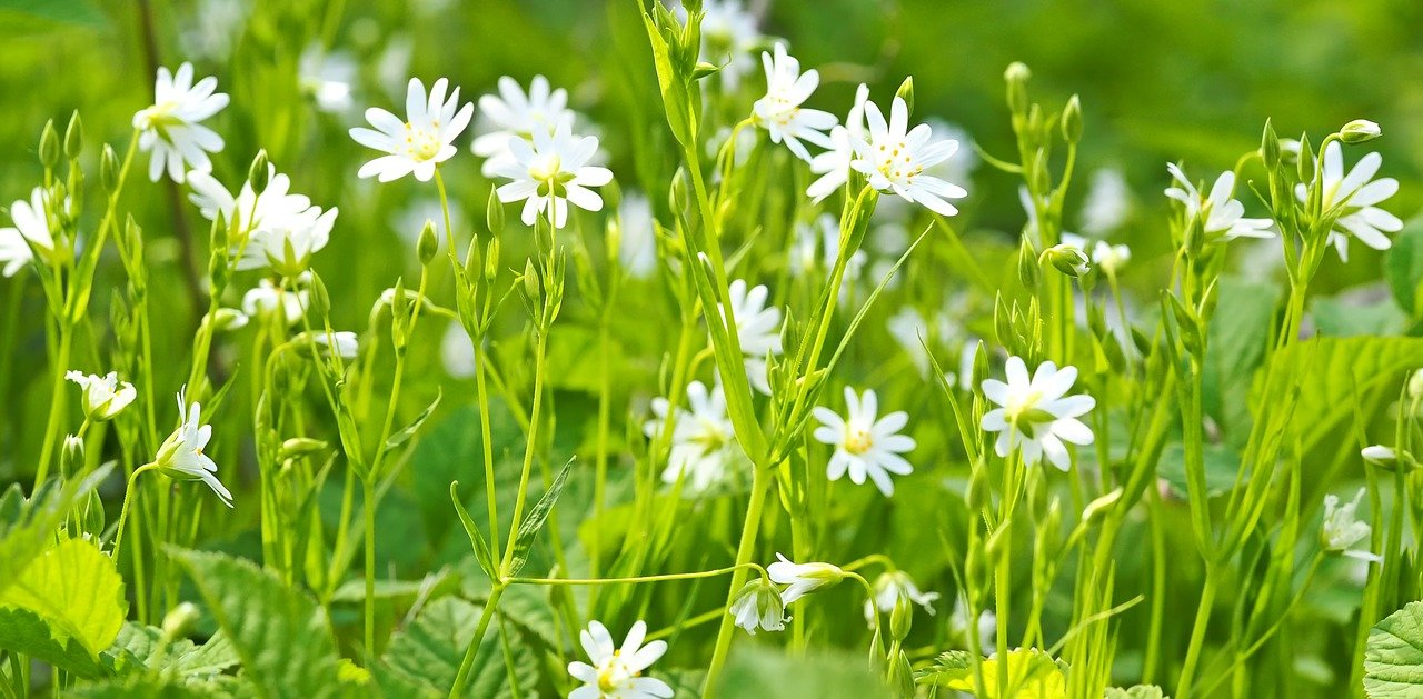 Find Chickweed as a groundcover with small white flowers.