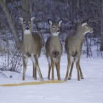 Chronic wasting disease is always fatal to deer. Dr. Osterholm predicts at some point the illness will be transmitted to humans. | STOCK