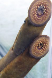 Two sea lamprey clinging to an aquarium wall.
