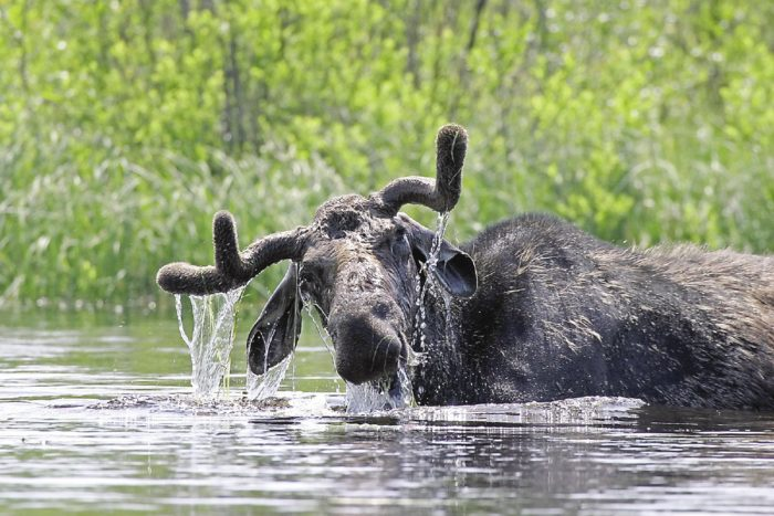 Neither the moose, nor the paddlers, expected to see each other.