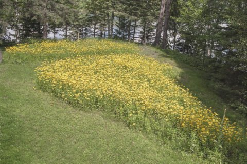 After two years of growing, our first wildflower garden was dominated by black-eyed Susans. Here it is in full bloom.