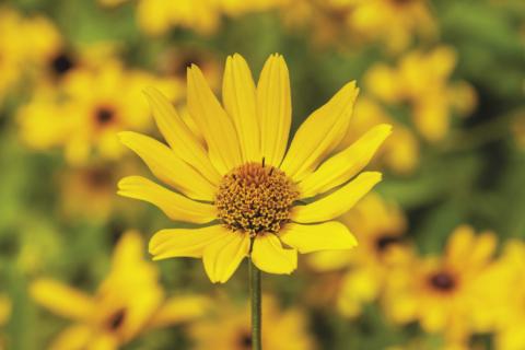 Giant Heli Sunflower