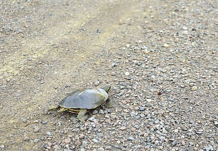 Slow Turtle Crossing >> Turtle Crossing Watch Out For Slow Moving Reptiles Northern Wilds
