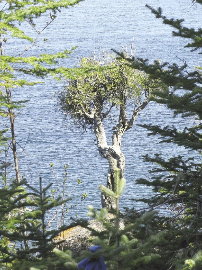 Almost 300 years ago, the Spirit Little Cedar Tree (or Witch Tree), growing out of the rock overlooking Lake Superior, was noticed by French explorer Sieur de la Verendrye, who wrote in 1731 that it was a mature tree.