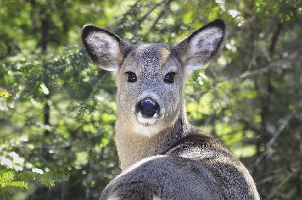 Chronic Wasting Disease, or CWD, hasn't been found in the North Shore's deer or moose populations, but experts warn the prion disease may pose dire risks for humans and cattle.